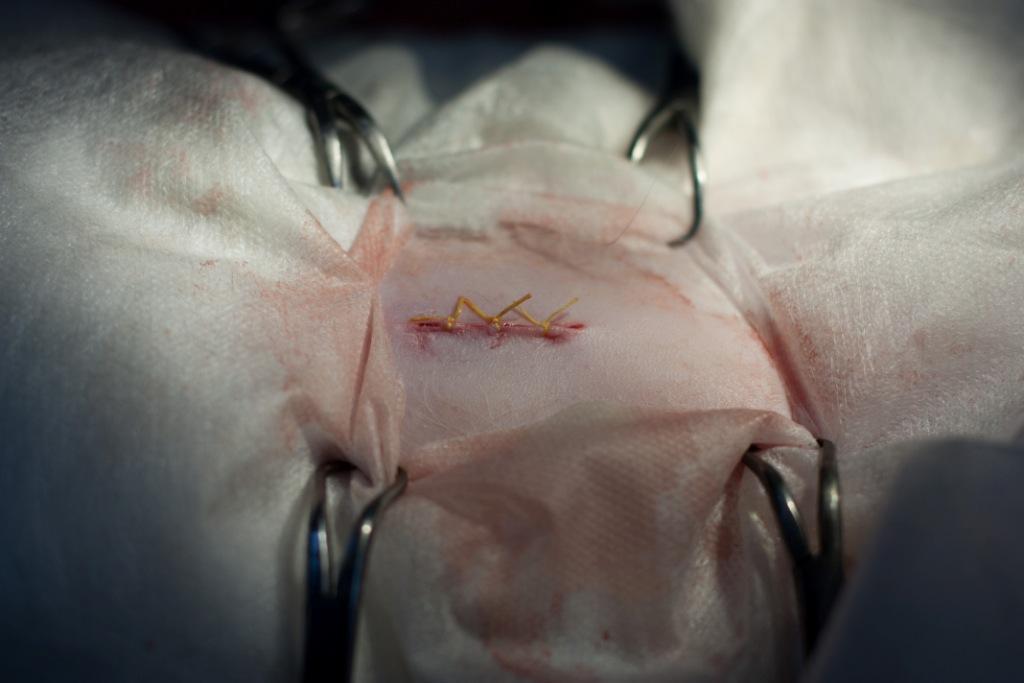 Шов после стерилизации кошки